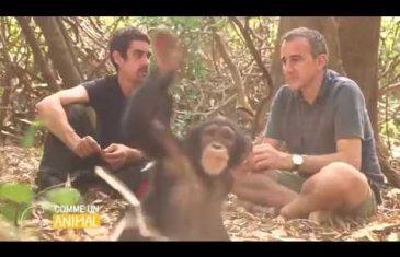 Comme un animal : Eli semoun dans la peau d'un Chimpanzé